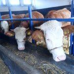 Sirova soja u ishrani muznih krava (preporuke)