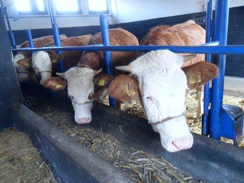 krave u stali