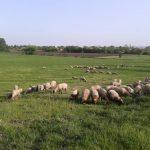 Isplata naknade za umatične ovce do kraja godine
