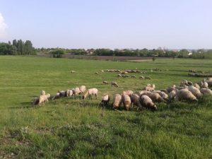 ovce na ispasi