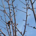Analiza potencijalne rodnosti, rodni potencijal, intenzitet rezidbe voćnih stabala