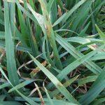 Zdravstveno stanje strnih žita u srednjem Banatu