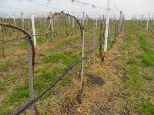Vinograd Sandora Somodjija