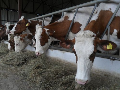 krave farma