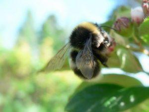 bumbar-skuplja-polen