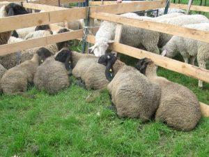 Ovce na izlozbi 1