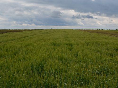 Pšenica u reproduktivnoj fazi