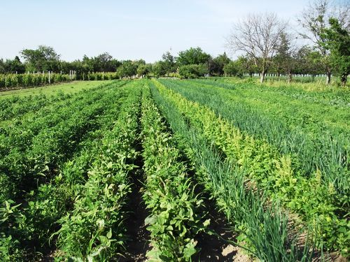 Koje povrtarske biljke mogu uspevati jedna pored druge