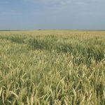 Fosfor i kalijum značajni za rast i razvoj pšenice