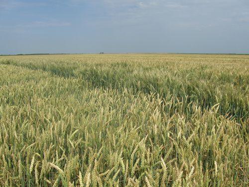 Traži se pšenica ovogodišnjeg roda. Cena 147 €/t