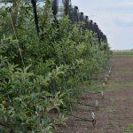 Tripsi u zasadima jabuka, bresaka i nektarina – Obavezan pregled