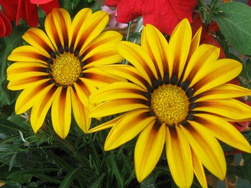 zuti cvetovi lepi