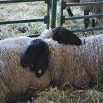 Ovce napajati svežom vodom. Koliko vode im je potrebno?