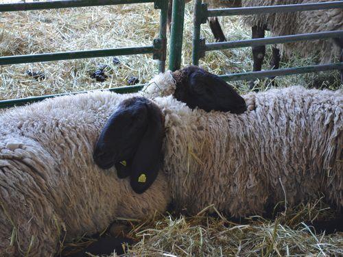 ovce cigaja na sajmu