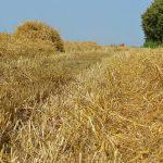 Suzbijanje korova na strništu obaviti kada korovi imaju razvijenu lisnu masu