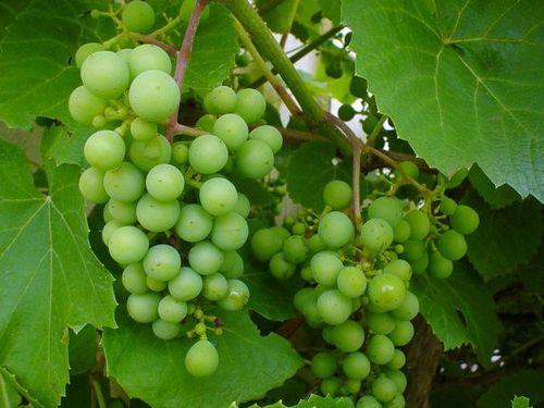 vinova-loza-grozdje-vitis-vinifera