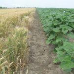 Manja proizvodnja pšenice za skoro 20%