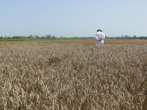 Šeta kroz polje žita 2