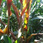 Repa na repu, kukuruz na kukuruz… eto bolesti