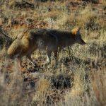 Počela kampanja oralne vakcinacije lisica i drugih divljih mesojeda protiv besnila