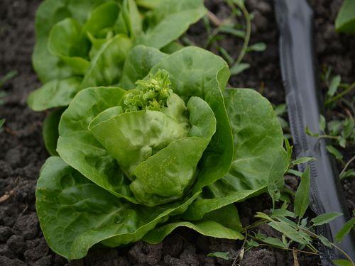 glavica salate