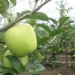 Zaštita jabuke: Registrovani jaja i larve smotavaca