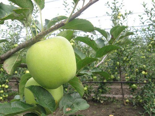 jabuka na grani krupno