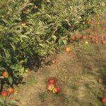 Organska proizvodnja uz autohtone sorte jabuke