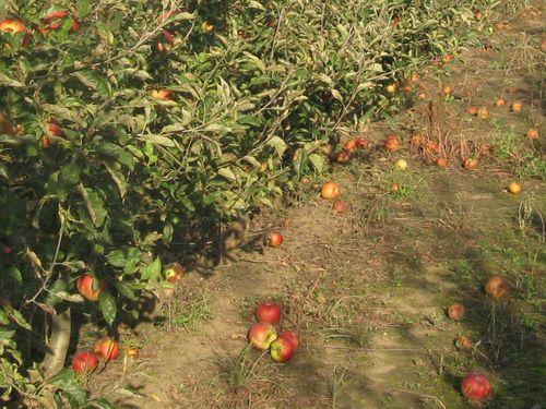 Koje sorte jabuke odabrati za organsku proizvodnju?
