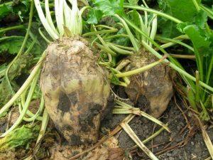 koren šećerne repe