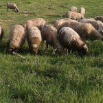 Ovčarstvo: Ishrana priplodnih ovnova