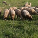 Pravilnik o korišćenju podsticaja u organskoj stočarskoj proizvodnji