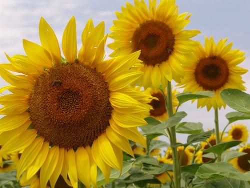 Suncokretova pčelinja paša