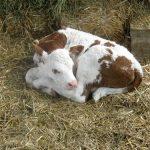 Postupanje s teletom nakon rođenja