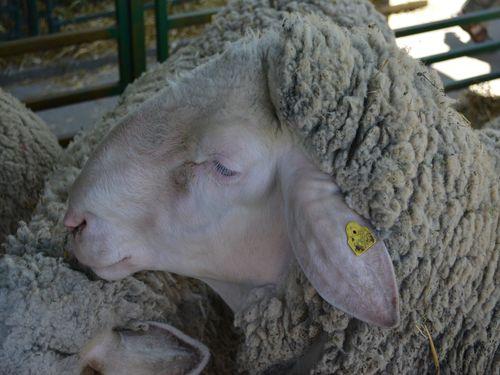 ovca krupno