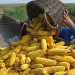 Trgovanje kukuruzom raste, cena oko 14 din/kg