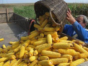 istovar klipova kukuruza u prikolicu