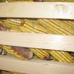 Čuvanje kukuruza u klipu
