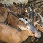 Ishrana koza u laktaciji