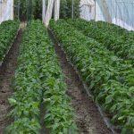Simptomi nedostatka i suviška hlora kod biljaka