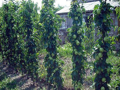 Stubaste jabuke donose ukusne plodove i ukrašavaju vrtove