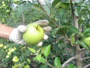 ubrana jabuka