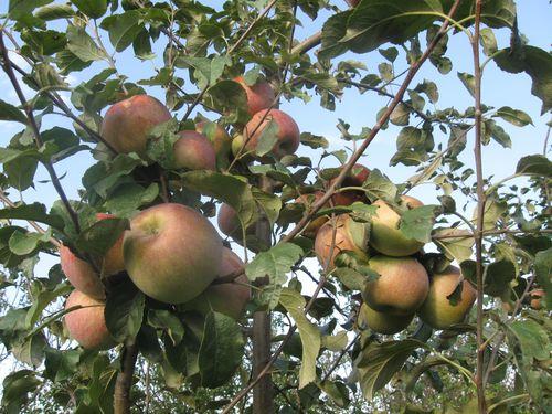 jabuke na granama