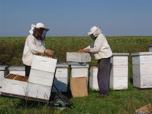 Radovi na pčelinjaku od 15. avgusta do 15. oktobra