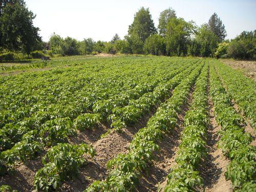 krompir organski Soksic Taras