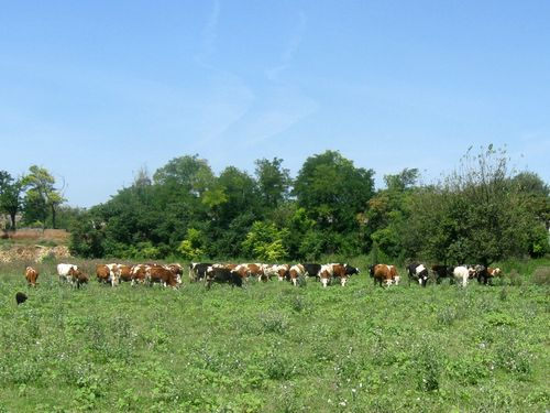 krave na ispaši Orlovat