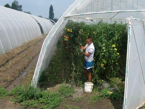mladi Cipak berac paradajza