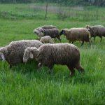 Preventivnom zaštitom protiv parazitarnih, zaraznih i drugih bolesti ovaca
