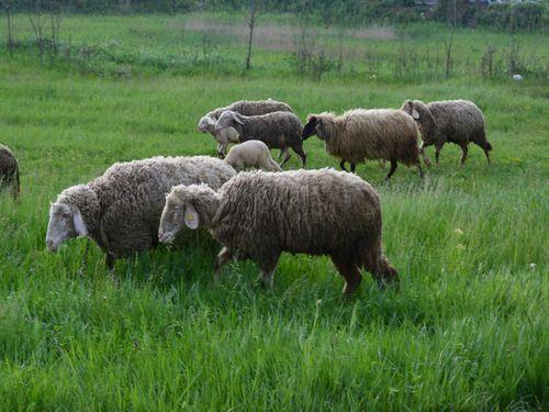 ovce na pasnjaku