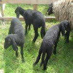 tri jagnjeta